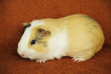 cute young yellow, white and black guinea pig on the blanket
