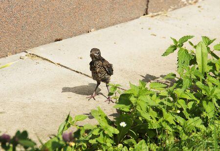 tiny blackbird youngster (Turdus merula), little bird