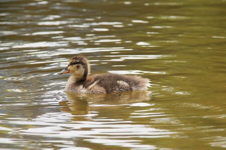 little fluffy duckling swimming in the water