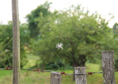 white fluff stuck on the spider web Reklamní fotografie