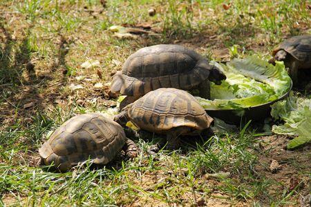 group of Greek tortoises (Testudo graeca) eting some food in the outdoor enclosure Reklamní fotografie