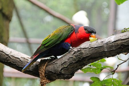 colorful back-capped lory (Lorius lory) eating grapes