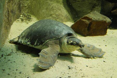 pig-nosed turtle (Carettochelys insculpta) under water Reklamní fotografie