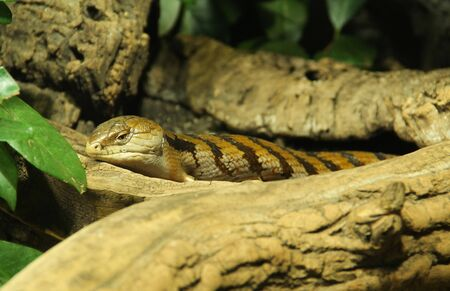 Indonesian blue-tongued skink having rest on the piece of wood