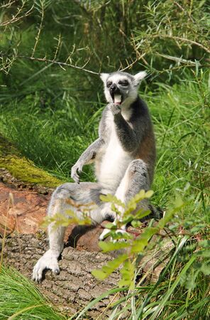 cute ring-tailed lemur (Lemur catta) sitting on the fallen trunk of tree and eating something Reklamní fotografie