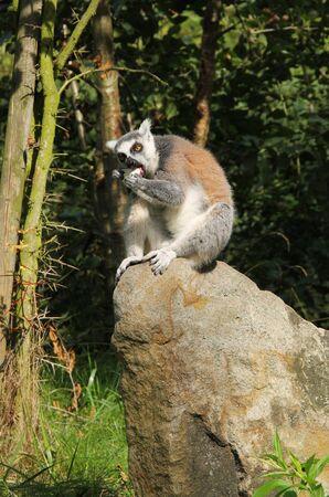 cute ring-tailed lemur (Lemur catta) sitting on the rock and eating something Reklamní fotografie