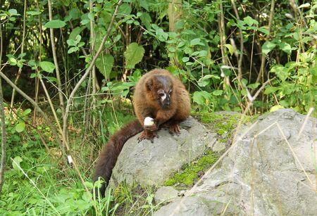 red-bellied lemur (Eulemur rubriventer)) sitting on the rock and eating something Reklamní fotografie