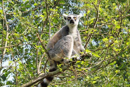 cute ring-tailed lemur (Lemur catta) sitting on the branch of tree Reklamní fotografie