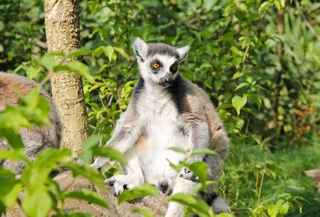 cute ring-tailed lemur (Lemur catta) sitting on the rock in the green vegetation Reklamní fotografie