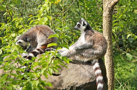 cute ring-tailed lemurs (Lemur catta) sitting together on the rock