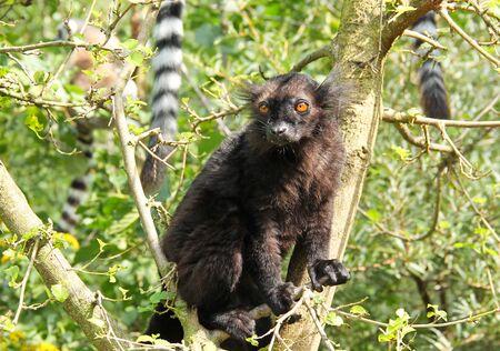 fluffy black lemur (Eulemur macaco) sitting on the branch of tree Reklamní fotografie