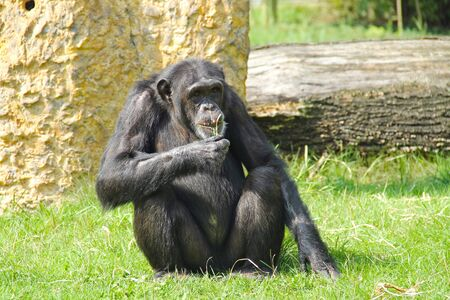 chimpanzee (Pan troglodytes) living in the ZOO eating some grass