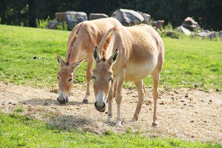 two Asiatic wild asses, onagers (Equus hemionus) in the ZOO