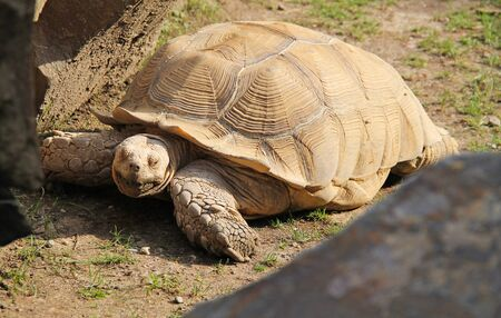 African spurred tortoise (Centrochelys sulcata) in the outdoors