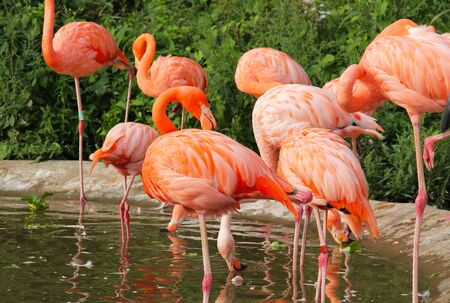 group of beautiful orange flamingos in the pool of water