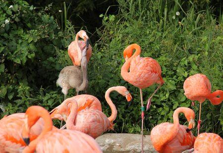group of beautiful orange flamingos