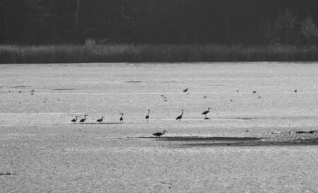 grey herons and seagulls searching for some food on the pond with low level of water, Poodri, Czech Republic