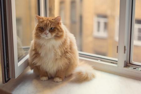 ginger cat: Fat ginger cat