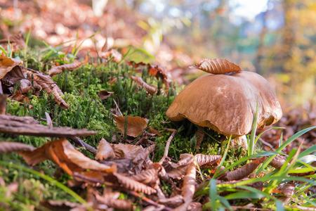 Porcini in het bos. Witte paddenstoel in het herfstgebladerte