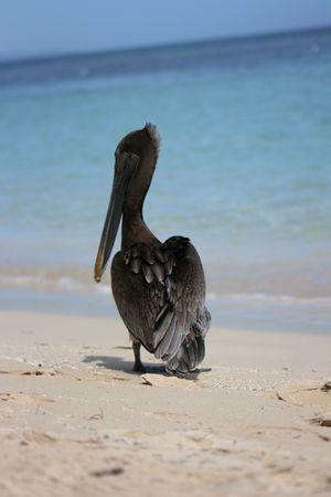 Pelikan photo