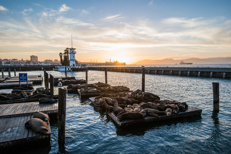 beautify: Seal sea Lions at the Pier 39 of San Francisco with beautify yellow sunset over dark sea. Pier 39 is a shopping center and popular tourist attraction built on a pier in San Francisco, California Stock Photo