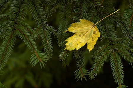 drenched:  Leaf on spruce twig