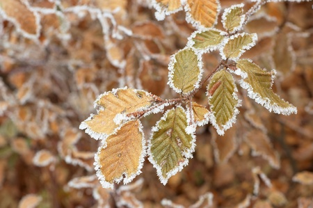 froze: Branch with froze leaves beech tree
