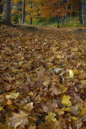 Leaves maple wood downfallen underfoot in backcloth trees photo