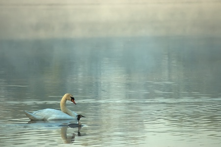 Swan on a pond with a morning mist in the background photo