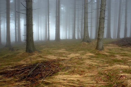 Pine - wood with fog in backcloth