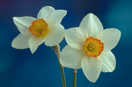 Daffodil flower on a blue background Stock Photo - 13423983