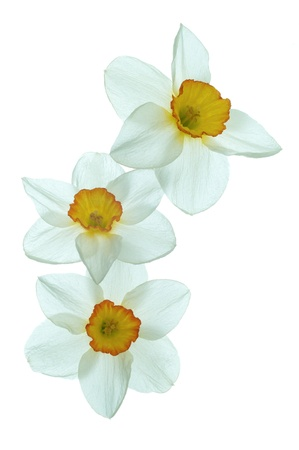 Daffodil flower on a white background Stock Photo - 13423954
