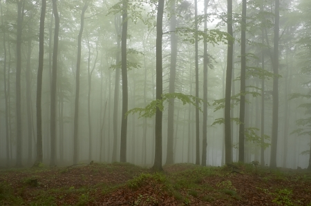 Beechwood with fog in backcloth