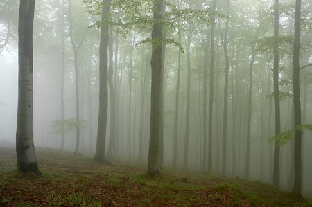 Beechwood with fog in backcloth Stock Photo - 13626463