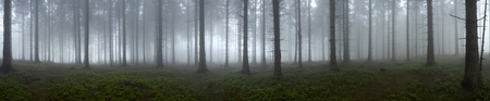 backcloth: Pine - wood with fog in backcloth