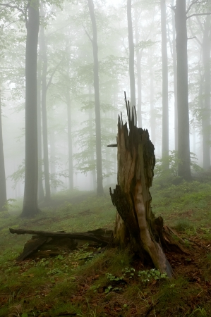 Beechwood with fog in backcloth Stock Photo - 13679795