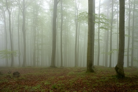 Beechwood with fog in backcloth Stock Photo - 13679800