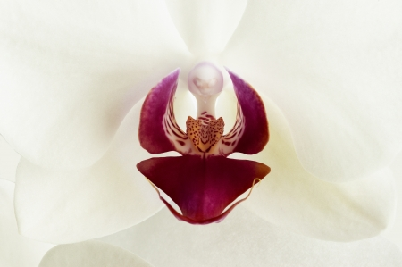 Orchid flower with white petals photo