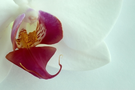 Orchid flower on a white background photo
