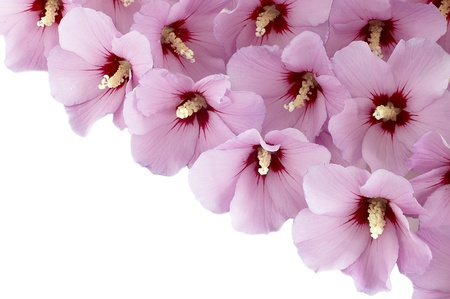 hibiscus flowers on a white background photo