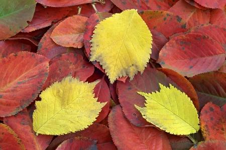 alder: autumn leaves alder and black crane Stock Photo