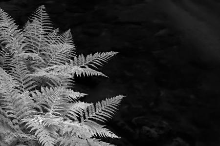 silver fern: fern a flowing river with rocks