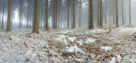 panorama of the winter forest of spruce photo