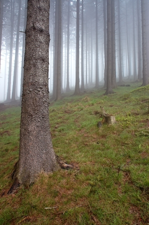 Coniferous forest with fog in background photo