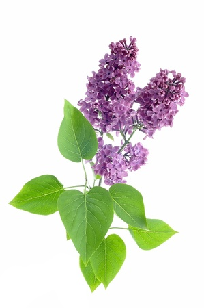 Lilac flower on a white background photo