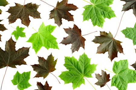 variously: Variously colored maple leaves on a white background