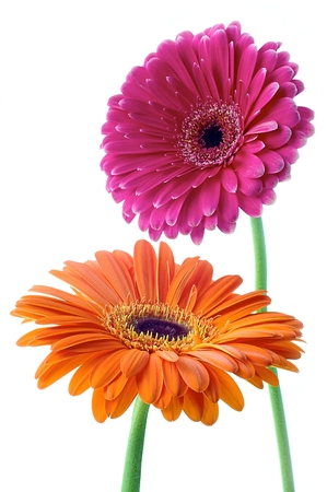 Gerbera flower on white  photo