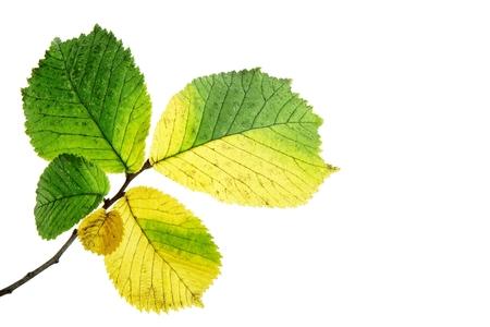 alder tree: Alder autumn leaves on a white