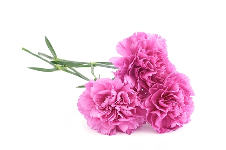 Three pink carnations on a white  photo