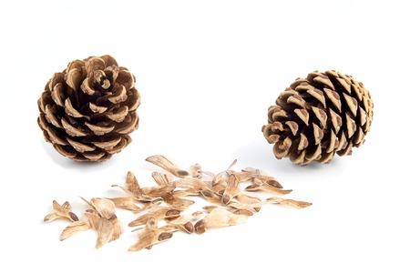 esporas: Dos conos de pino con semillas esporas en blanco